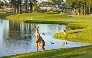 Kangaroos on the course at Sanctuary Cove Golf Club The Palms, The Golf Coast, Australia